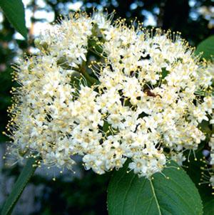 Viburnum Lentago (Калина канадская)