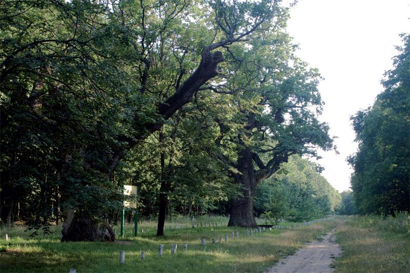 Кочубеевские дубы (Фото: Александр Прима, Алексей Божко)