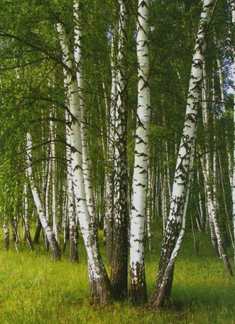 Посадка взрослых деревьев