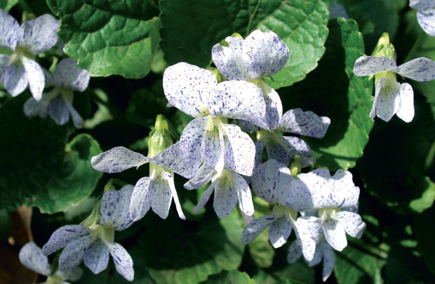 Фиалка сестринская Freckles – Viola sororia Freckles