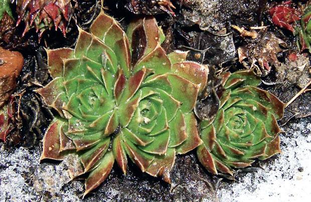 Молодило кровельное – Sempervivum Tectorum