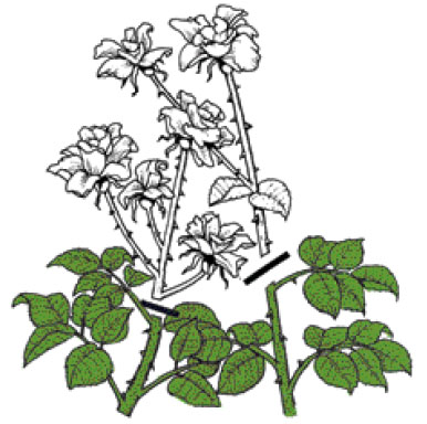 Чайно-гибридные розы. Правильно обрезанные соцветия – до сильного, ориентированного наружу побега или на почку ниже соцветия