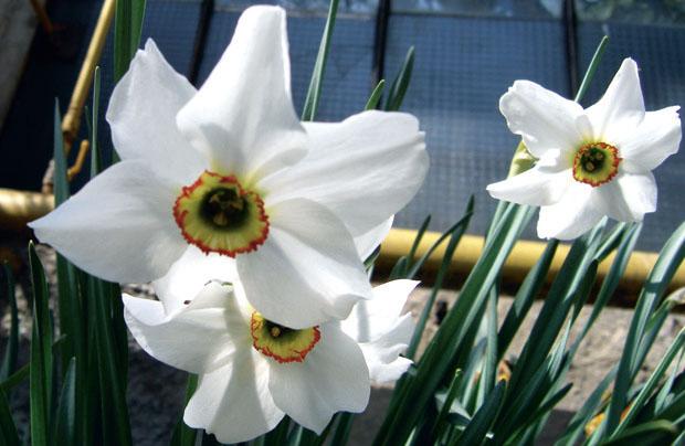 Нарцисс поэтический – Narcissus poeticus