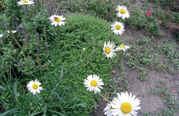 Нивяник обыкновенный (белая ромашка) – Leucanthemum vulgare