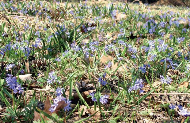 Пролеска двулистная – Scilla bifolia