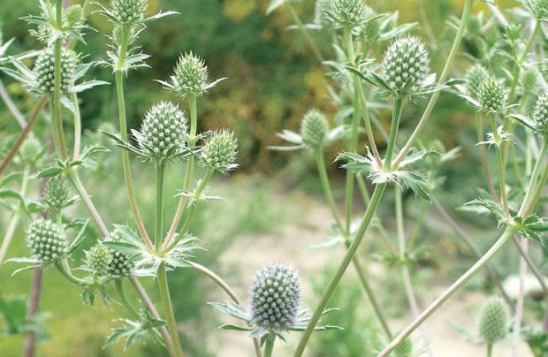 Синеголовник плосколистный – Eringium Planum