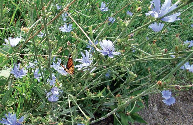 Цикорий обыкновенный – Cichorium intyb