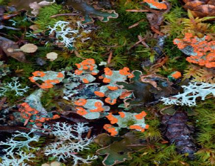 Cladonia coccifera (Кладония красноплодная)