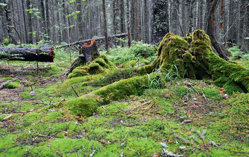 Лесной мох