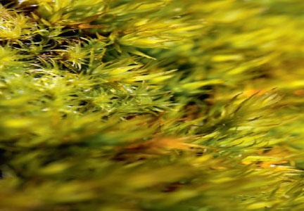 Dicranum polysetum (Дикранум многоножковый, или волнистый)