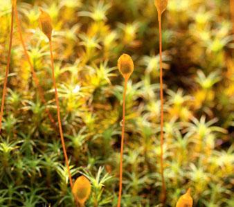 Polytrichum commune (Политрихум обыкновенный, или «кукушкин лен»)