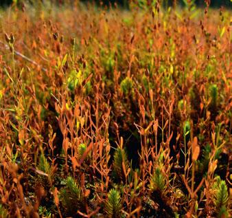 Sphagnum (Торфяной мох, белый мох)