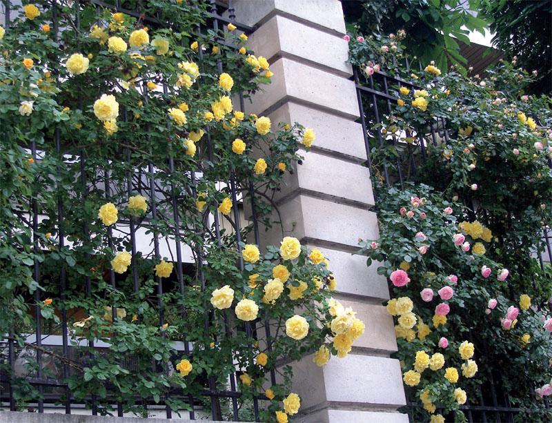 Розы для вертикального озеленения