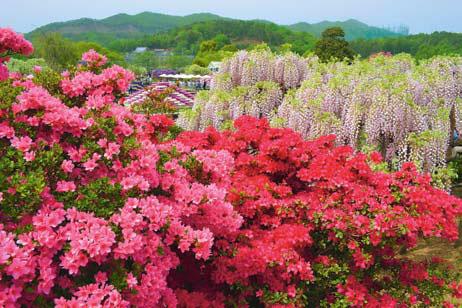 Японский парк Asicaga Flower Park