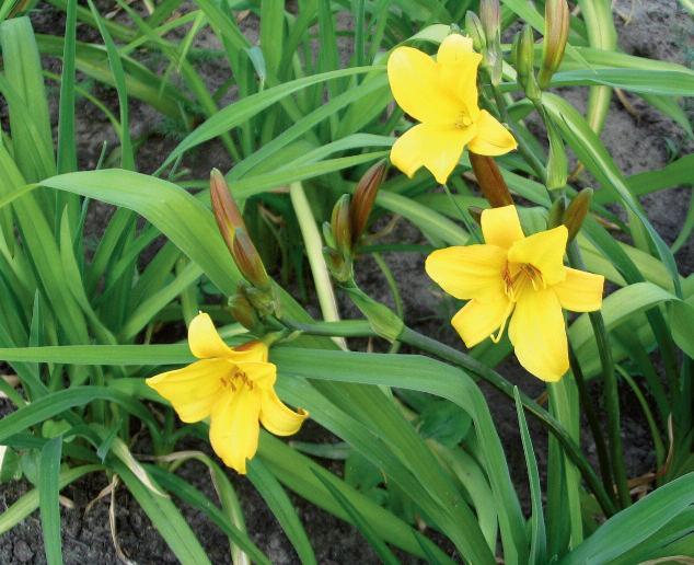 'Hemerocallis lilio-asphodelus'