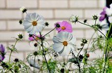 Неприхотливые цветущие растения для приусадебного участка